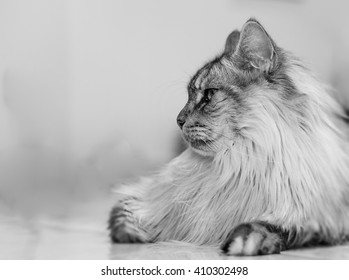 Maine Coon cat lies on the floor, as a portrait! Black and white