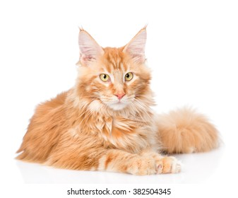 Maine coon cat lying in front view. isolated on white background