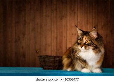 Maine Coon cat lying next to a basket!