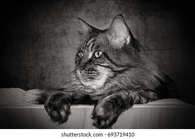 Maine coon cat lying as a side portrait. black-and-white