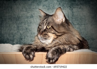 Maine coon cat lying as a side portrait.