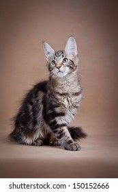 maine coon cat on a beige background