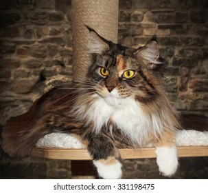 Maine Coon cat on a scratching post