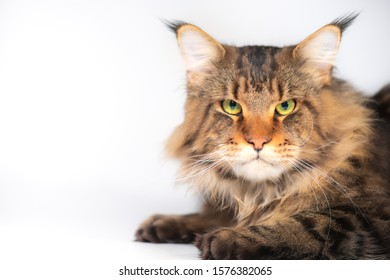 A Maine coon cat on a white background