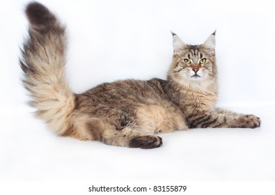 Maine Coon Cat on a white background.