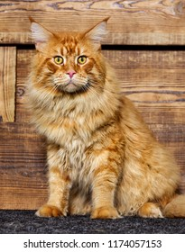 Maine Coon cat on a wooden background