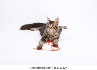 Maine Coon cat playing with colorful ropes