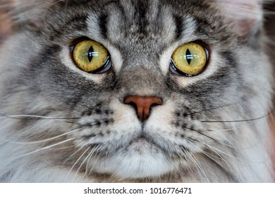 Maine Coon cat portrait looking at you close up