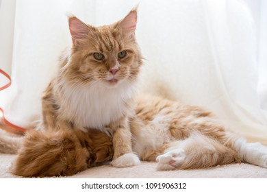Maine coon cat red mother with baby