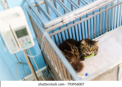Maine coon cat sitting in the cage at the animal and treating by Intravenous fluid therapy with blur infusion pump  hospital/veterinary Clinic waiting for recovery from treatment and find a good home