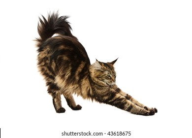maine coon cat stretching against white background
