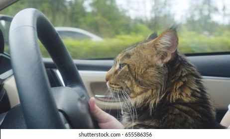 Maine Coon cat traveling with a host in car.