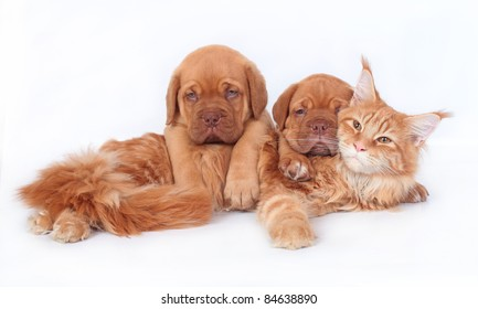 Maine coon cat and two pups Bordeaux on a white background