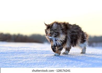 Maine Coon cat walk in winter field