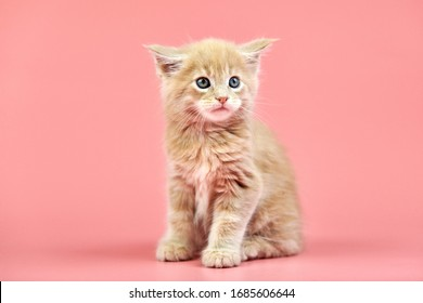 Maine coon cream kitten. Cute shorthair purebred cat on pink background. Beige hair attractive kitty from new litter.