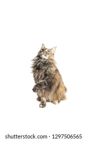 maine coon female with careful look while playing by lifting the paws