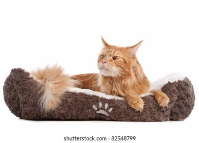 maine coon in front of a white background