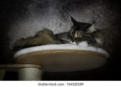 Maine Coon Katze liegt ganz entspannt auf ihrer Liegefläche!