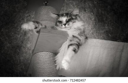 Maine Coon Katze liegt mehr oder weniger Entspannt auf einem Kratzbaum