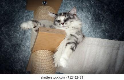 Maine Coon Katze liegt mehr oder weniger Entspannt auf einem Kratzbaum vor einem Grau Blauen Hintergrund!