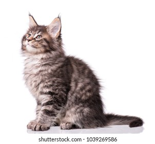 Maine Coon kitten 2 months old. Cat isolated on white background. Portrait of beautiful domestic kitty.