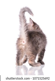 Maine Coon kitten 2 months old. Cat isolated on white background. Portrait of beautiful domestic gray kitty.