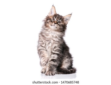 Maine Coon kitten 2 months old. Cat isolated on white background. Portrait of beautiful domestic black tabby kitty.