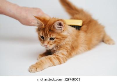 Maine Coon kitten. Maine Coon kitten.