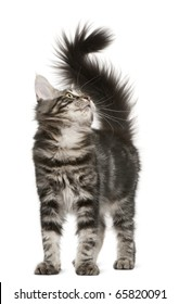 Maine Coon kitten, 4 months old, looking up in front of white background