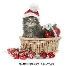 maine coon kitten ans christmas in front of white background