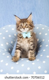 Maine Coon kitten with blue polka dot cushion pillow on blue background
