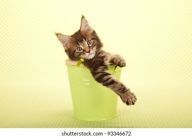 Maine Coon kitten inside green bucket pail on green background