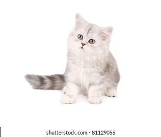 Maine coon kitten isolated on white