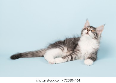 Maine coon kitten laying in studio on blue background