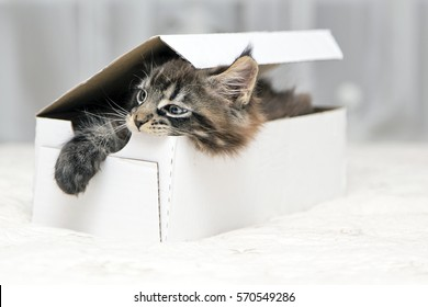 Maine Coon kitten lying in a box on a white background
