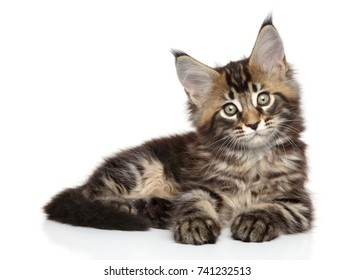 Maine Coon kitten lying down on white background