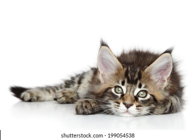 Maine Coon kitten lying on a white background