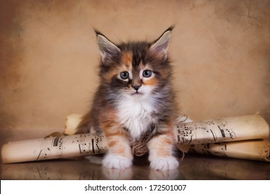 Maine Coon kitten on a colored background