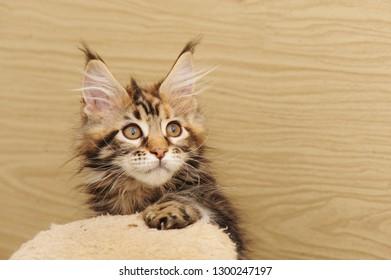 Maine coon kitten on wood background