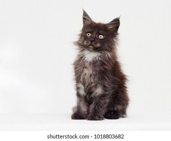 maine coon kitten sits and looks