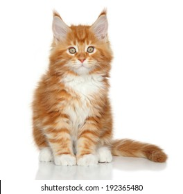 Maine Coon kitten sits on a white background