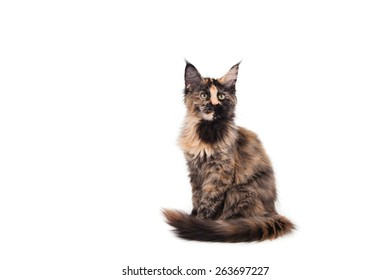 Maine Coon kitten sitting in front of white background. Cat sitting. Cat three months.