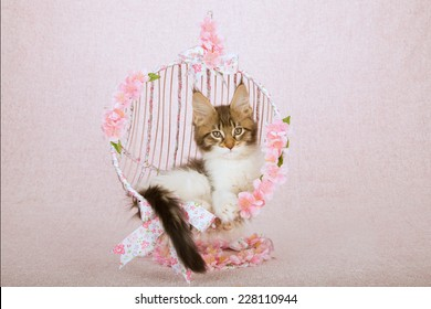 Maine Coon kitten sitting inside metal round swing chair covered with ribbon bows and flowers on pink background