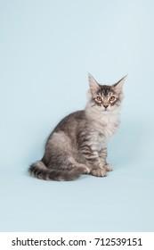 Maine coon kitten sitting in studio on blue background