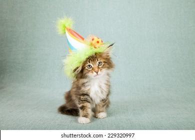 Maine coon kitten wearing cone shaped birthday hat