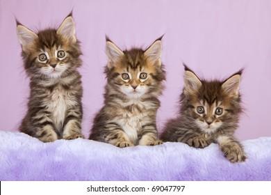 Maine Coon kittens on lilac purple faux fur cushion