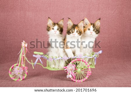 Maine Coon Kittens Sitting Inside Miniature Stock Photo Edit Now