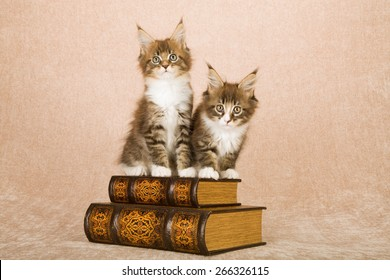 Maine Coon kittens sitting on leather bound books against beige background