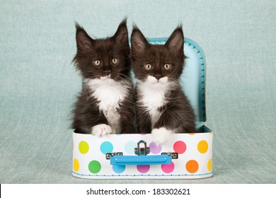 Maine Coon kittens sitting in polka dot luggage suitcases on light blue green background