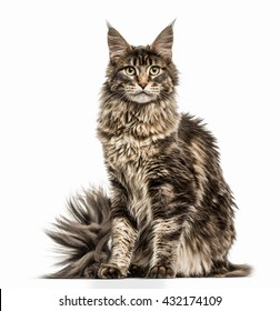 Maine Coon looking at the camera, isolated on white